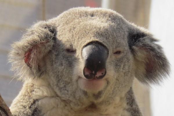 Un koala adormilado