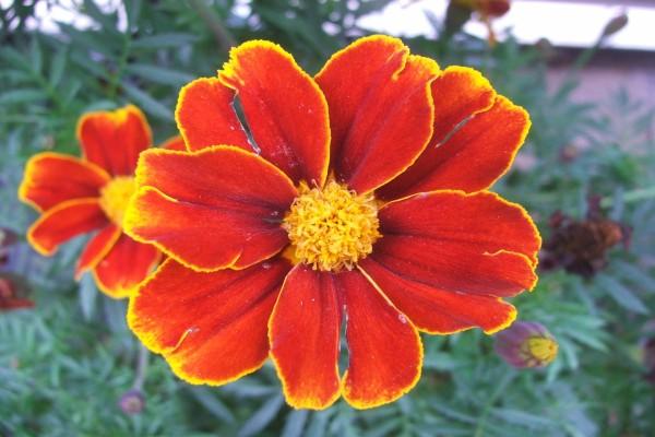 Flores con el borde de los pétalos amarillos
