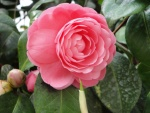 Hermosa peonia rosa