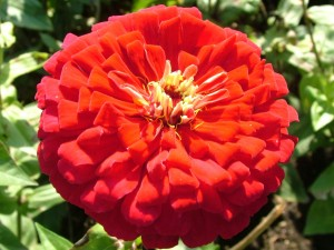 Postal: Una gran flor con muchos pétalos rojos