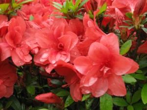 Flores rosas en la planta