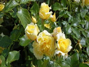 Vistosas rosas amarillas en el rosal