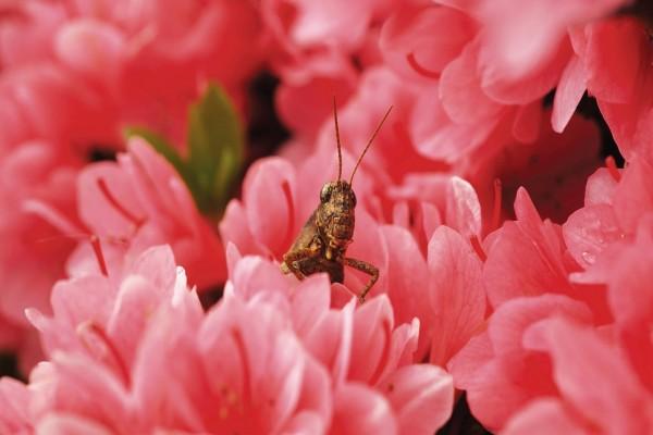 Saltamontes entre las flores rosas