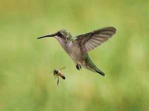 Postal: Una abeja y un colibrí en pleno vuelo