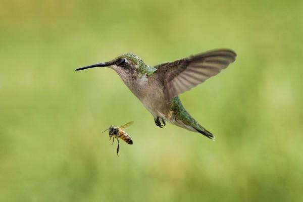 Una abeja y un colibrí en pleno vuelo