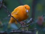 Pájaro naranja con una hoja en el pico
