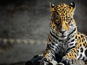 Un jaguar