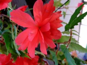 Planta con flores rojas