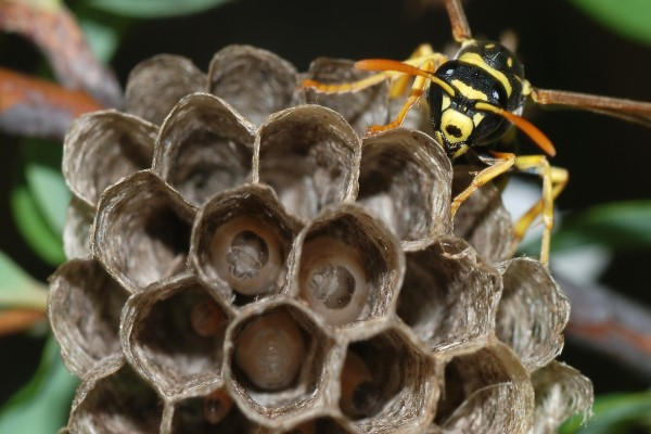 Un joven reina avispa (Polistes dominulus) cuidando a sus herederos