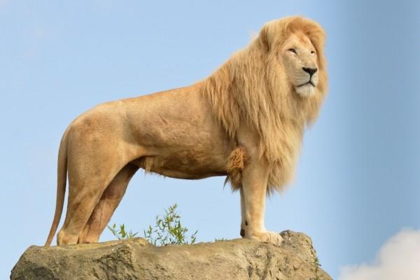 Impresionante león sobre una roca