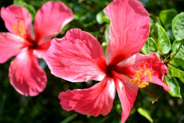 Dos flores de hibisco en la planta