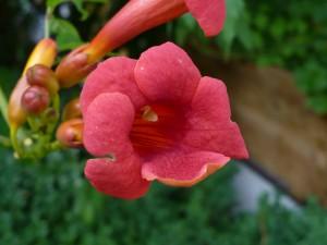 Flores trompeta (Campsis radicans)