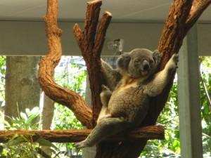Postal: Koala en un zoo