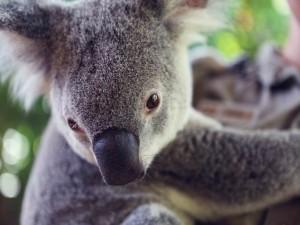 Ojos y nariz de un koala