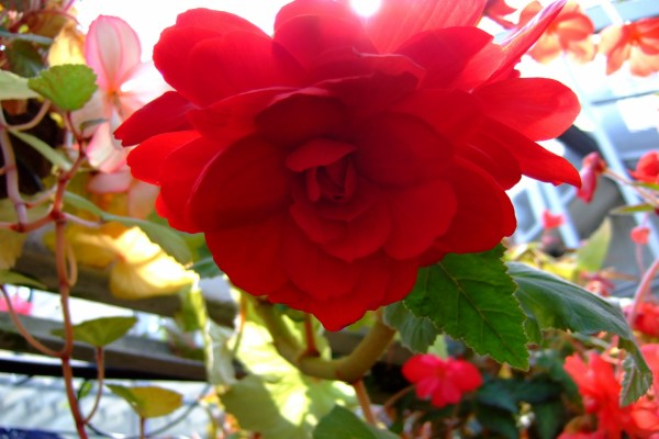Una bonita flor roja