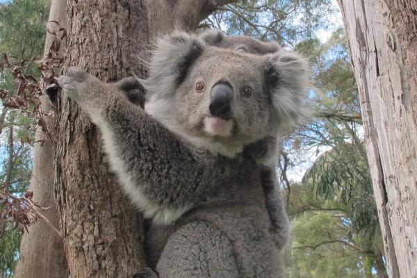 Una koala con su cría en lo alto de un árbol