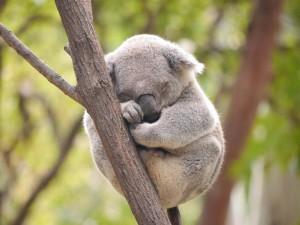 Un bonito koala dormido