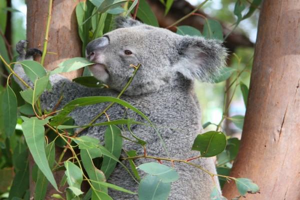 Koala mordiendo una hoja