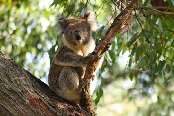 Un koala agarrado a una rama