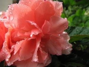 Gotas de agua sobre una bella flor rosa