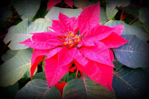 Hermosa flor de pascua
