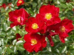 Postal: Hermosas flores de color rojo