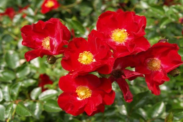 Hermosas flores de color rojo