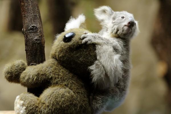 Koala bebé sobre un peluche
