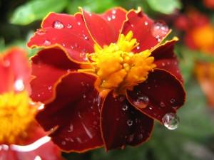 Gotas de agua sobre los pétalos de una flor