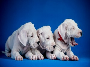 Tres cachorros blancos descansando