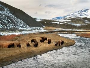 Bisontes comiendo hierba en el Parque Nacional de Yellowstone