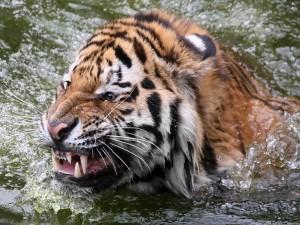 Postal: Tigre en el agua