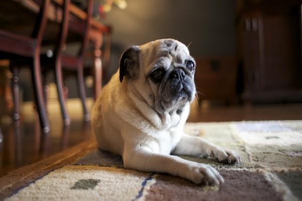 Un simpático perro amigo de la casa