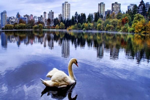 Cisne en el lago de una gran ciudad