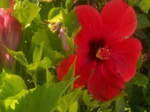 Hibiscos rojos en la planta