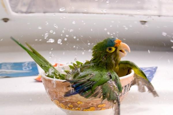 Loro que decidió tomarse un baño