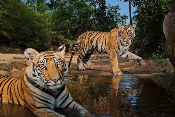 Tigres refrescándose en el agua