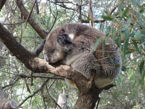 Gran koala dormido en el árbol