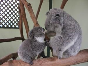 Pequeño koala junto a su madre