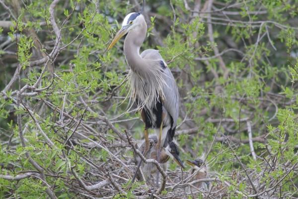 Grandes aves en un nido