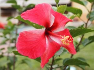 Postal: Un hibisco rojo