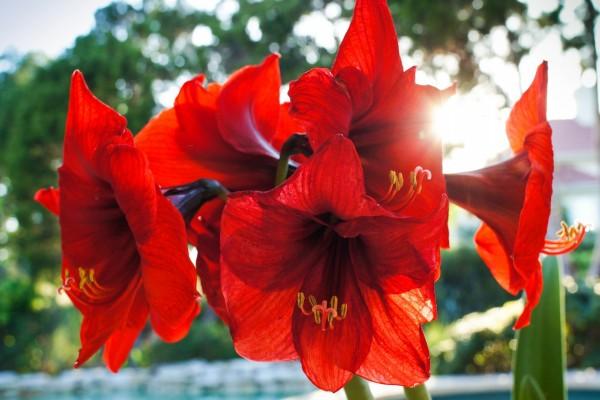 Amaryllis rojas