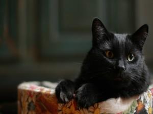 Postal: La cara de un bonito gato negro
