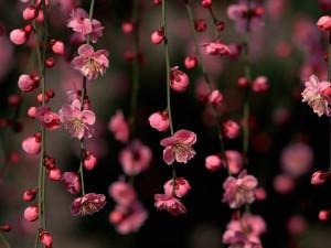 Flores rosadas colgando de las ramas