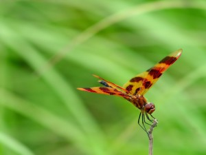 Libélula con bonitas alas