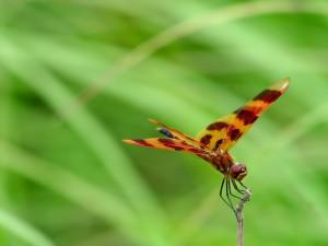 Postal: Libélula con bonitas alas