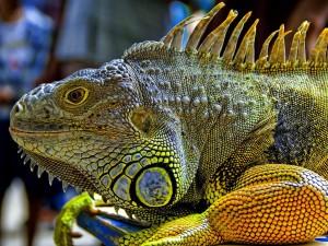 Una gran iguana