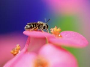 Abeja sobre el pétalo de una flor rosa
