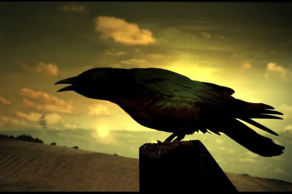 Un cuervo al atardecer
