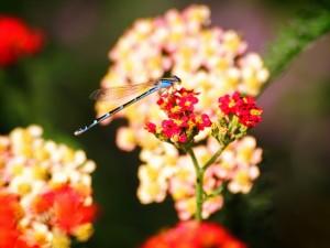 Postal: Libélula azul sobre una flor